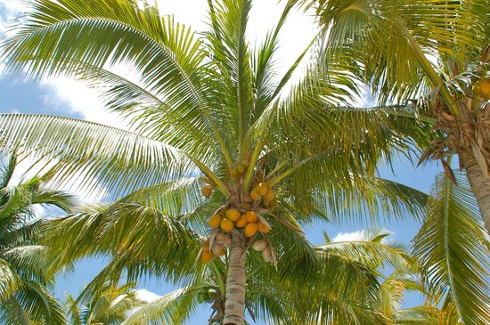 Hacienda Tres Rios: Fresh coconuts are taken from the trees each morning and offered to guests - delicious coconut j