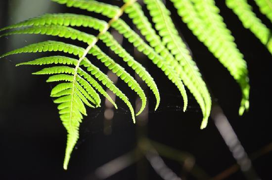 Surf Coast Walks - Day Tours: Tree fern frond in the morning sunlight