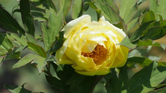 Hasedera Temple: 牡丹 黄