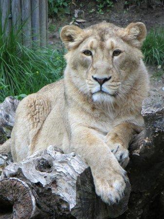 Zoo Zurich : The lioness