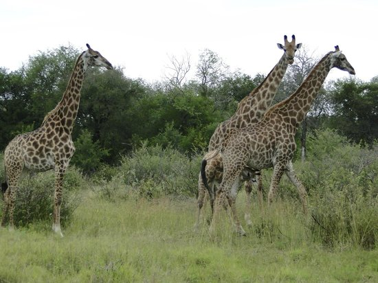 Lion Sands - Tinga Lodge: Muitas girafas