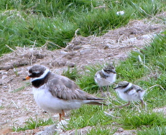 Lochaill Guesthouse: RINGED PLOVER & CHICKS