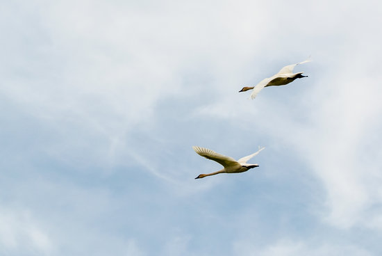 Caley National Wildlife Woods: Swans in Flight