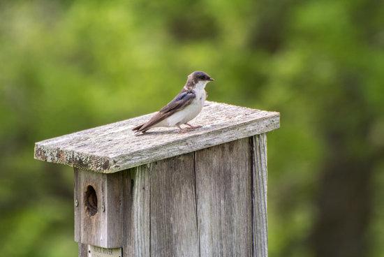 Caley National Wildlife Woods: Female Tree Swallow