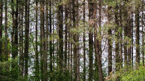 Caley National Wildlife Woods: Pine Woods