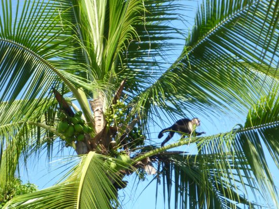 Falls Resort at Manuel Antonio: Monkeys just off the balcony
