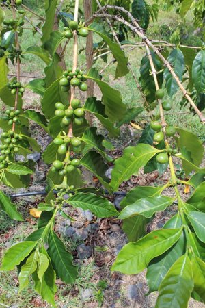 Hula Daddy Kona Coffee: More coffee cherries