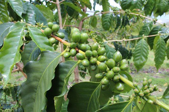 Hula Daddy Kona Coffee: Unripe coffee fruits.