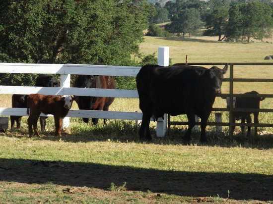 Rancho Bernardo Bed & Breakfast : The little orphaned calf with it's new mother and sibling.