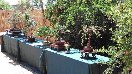 Yume Japanese Gardens: Bonsai Specimens