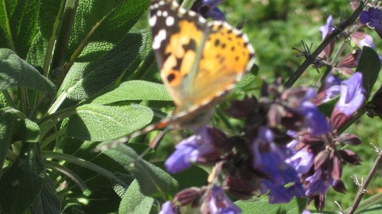 Botanica: The Wichita Gardens: Butterfly in the sage
