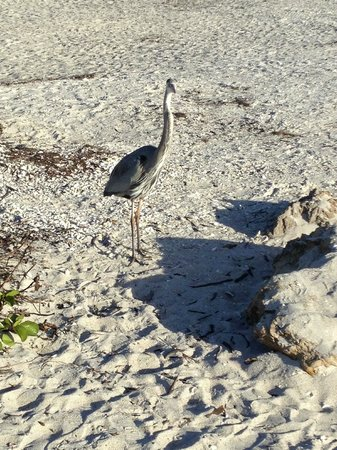 Gulf Sands Beach Resort: Heron hanging out at Gulf Sands