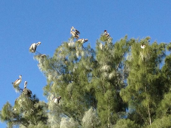 Gulf Sands Beach Resort: Pelicans in the tree