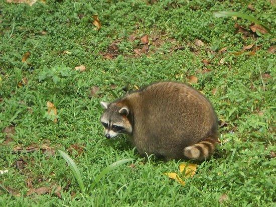 Ragunan Zoo: Racoon