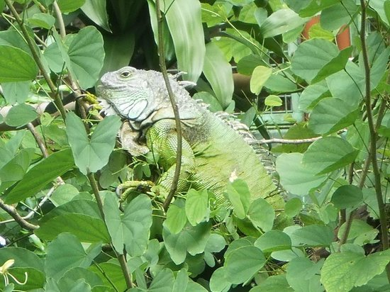 Ragunan Zoo: Iguana