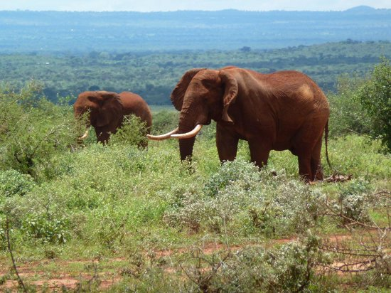 Bruno Safaris - Day Tours: Two many to count, we sore lots of Tsavo Elephants