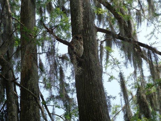 Cajun Country Swamp Tours: Owl in tree