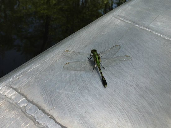 Cajun Country Swamp Tours: Cute dragonfly
