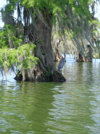 Cajun Country Swamp Tours: Great Blue Heron