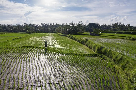 Omah Apik: Rice paddy