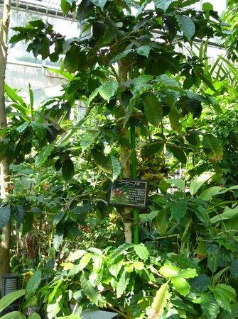 Hamamatsu Fruit Park Tokinosumika: コーヒーの木