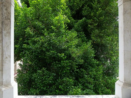Burmese Rest: nutmeg tree