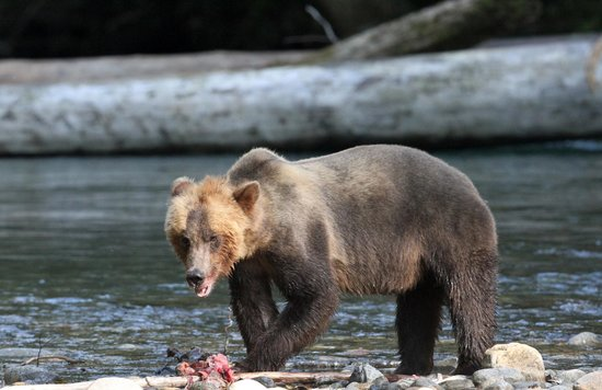 Eagle Eye Adventures: Grizzly bear