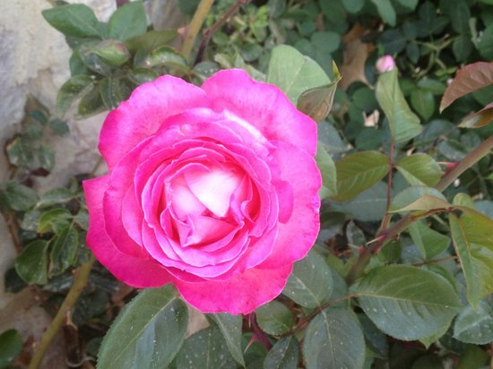 Petra Bed and Breakfast: A Rose In The Garden