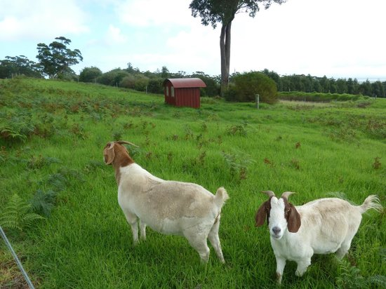 The Bushfood Factory and Cafe : Resident goats