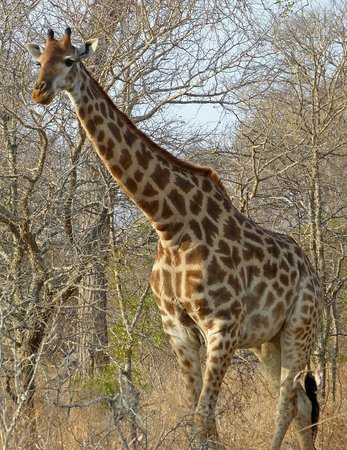 Kambaku Safari Lodge: One of many giraffes