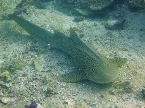 Andaman Ocean Safaris Dive Center: Leopard Shark - Phi Phi