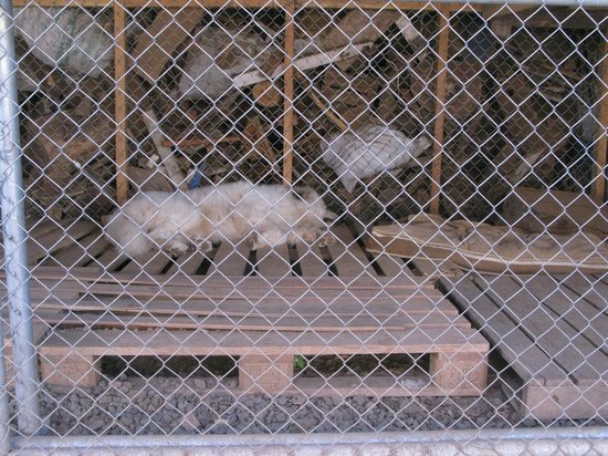 Altura Hotel: Dog in cage without water.