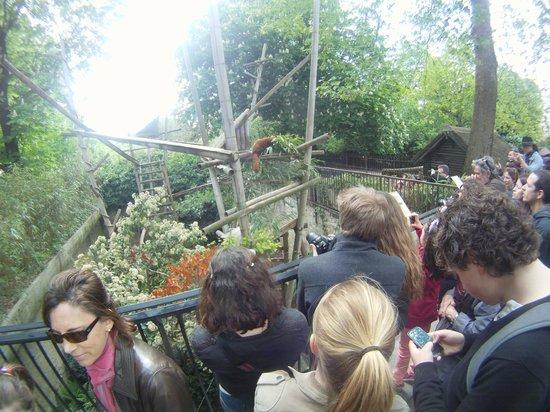 Menagerie du Jardin des Plantes: Un monde fou devant le petit enclos ( ex fosse à ours ) de deux pandas roux