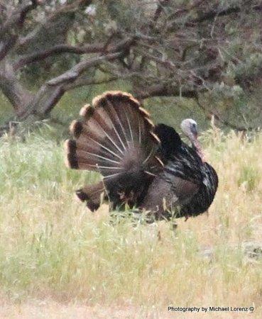 Restful Nest Bed and Breakfast: Wild Turkey