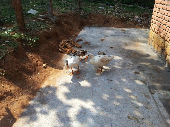 Swarga Home Stay: Ducks & Geese