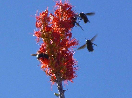 Chihuahuan Desert Nature Center & Botanical Garden: Bees a Buzzing