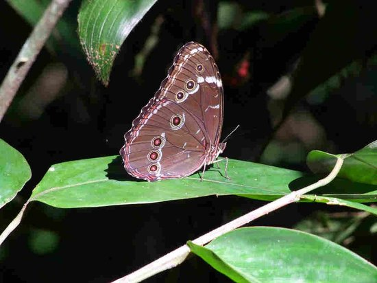 Tambopata Research Center: Owl Butterfly