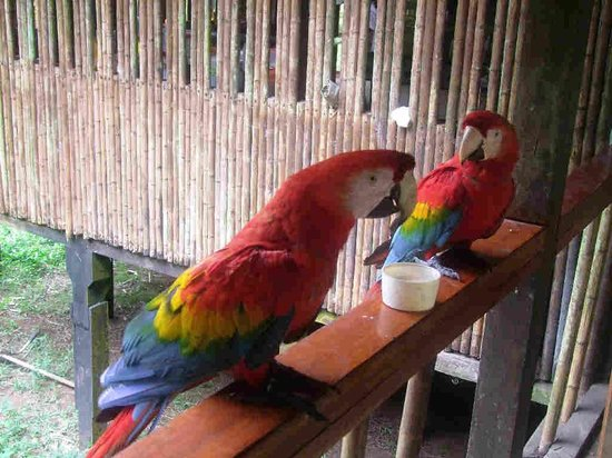 Tambopata Research Center: Scarlet Macaw
