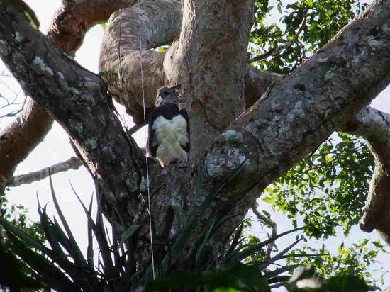 Tambopata Research Center: Harpy Eagle