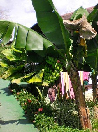 Hotel Arenal Montechiari: Bananas.