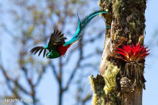 Provincia de San Jose, Costa Rica: Resplendent Quetzals...a common sight here!