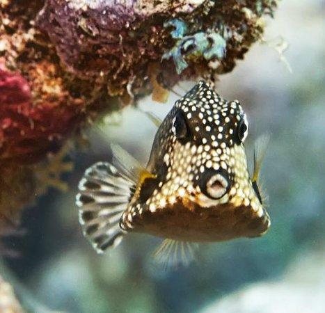 Amy Slate's Amoray Dive Resort: Trunk fish