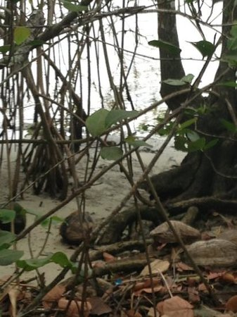 Secret Woods Nature Center: red mangroves and coconuts