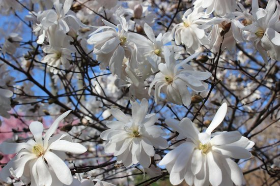 Magnolia Tree In Bloom Picture Of Highland Park Rochester