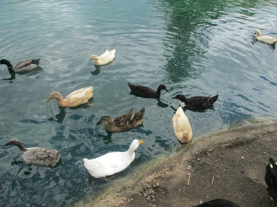 Cosley Zoo: Duck Feedings