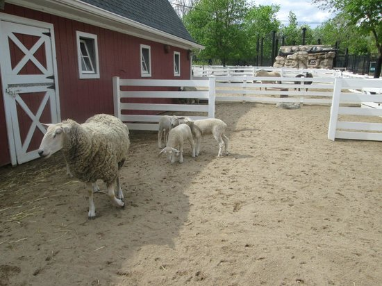 Cosley Zoo: Sheep