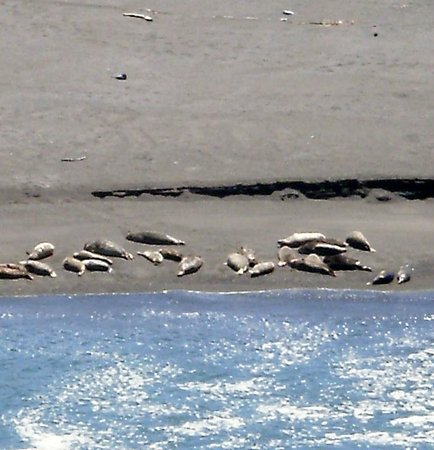 Goat Rock Beaches: Close up of the seals