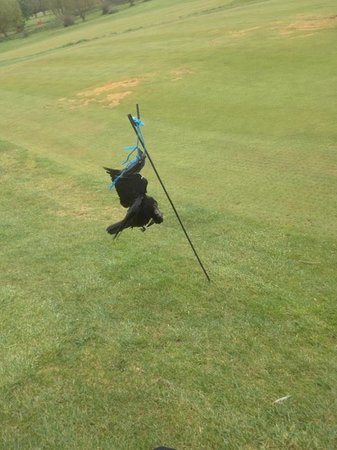 Suffolk Golf Couse: A green, patchy with dead birds hanging everywhere