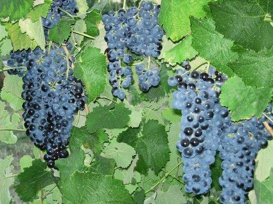 HyeLandz Eco Village Resort: Grapes