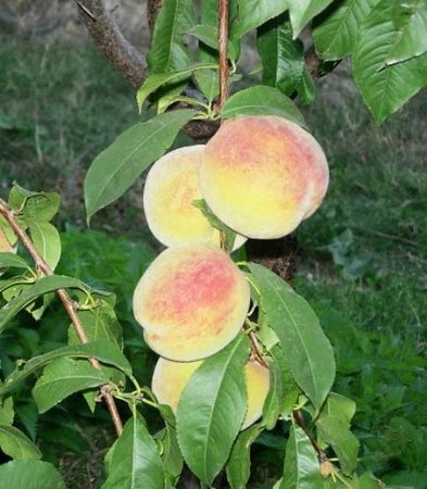 HyeLandz Eco Village Resort: Peaches